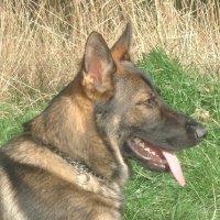 Tier der Woche vom 03.04.2006: Schaeferhund Alpha