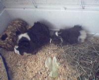 Tier der Woche vom 10.04.2006: Meerschweinchen Wuschel und Mia
