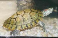 Tier der Woche vom 31.07.2006: Rotwangenschmuckschildkröte Klaus-Greenpy-Trundle