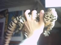 Tier der Woche vom 14.08.2006: Schw.-Weißer Teju Sammy