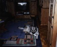 Tier der Woche vom 11.09.2006: Husky-Shäferhund-Mix Arko
