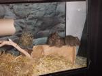Tier der Woche vom 05.02.2007: Degu