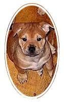 Tier der Woche vom 30.04.2007: Englisch-Bulldock-Chow-Chow-Mix Bianka(Welpe)