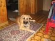 Tier der Woche vom 21.05.2007: Hund   DSH  Rhodesian Rideback Mix LEA
