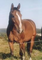 Tier der Woche vom 11.06.2007: Pferd - Westfale Rico - Splash