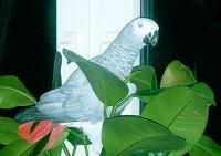 Tier der Woche vom 16.07.2007: Kongo Graupapagei Coco