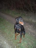 Tier der Woche vom 26.11.2007: Dobermann Bess vom Dragonerreich
