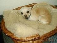 Tier der Woche vom 21.01.2008: Chihuahua Kati