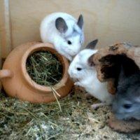 Tier der Woche vom 17.03.2008: Chinchilla Das sind Mandy Maxi und Willow