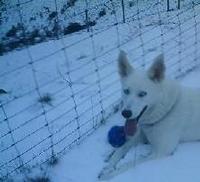 Tier der Woche vom 31.03.2008: weißer husky kiara