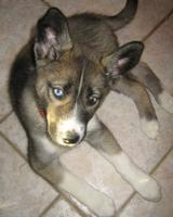 Tier der Woche vom 05.05.2008: Sibirian Husky Akima