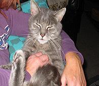 Tier der Woche vom 13.10.2008: Europaische Kateuserhauskeatze Blue