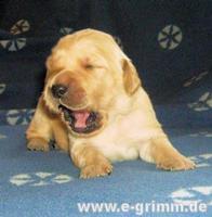 Tier der Woche vom 23.02.2009: Golden-Retriever Aragon