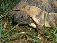 Tier der Woche vom 18.01.2010: Griechische Landschildkröte Schildi Dreibein