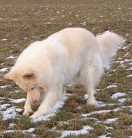 Tier der Woche vom 25.01.2010: Schweizer Schäferhund / Samojede Mix Kathy