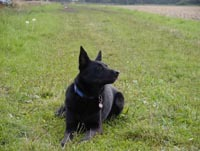 Tier der Woche vom 21.06.2010: Schäferhund Laprador Mischling Blacky