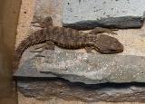 Tier der Woche vom 27.12.2010: Cordylus Tropidosternum KleinKroko