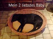 Tier der Woche vom 13.06.2011: Labrador-Weibchen Ronja